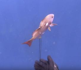 Подводная охота на рыбу пинджал, Бали