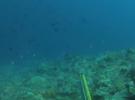 Морской окунь маори. Подводная охота в Индонезии