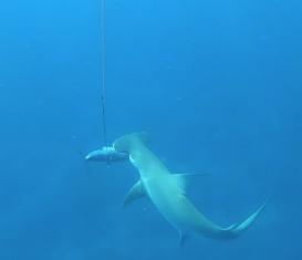 Подводная охота рядом с акулами на Ки-Уэст